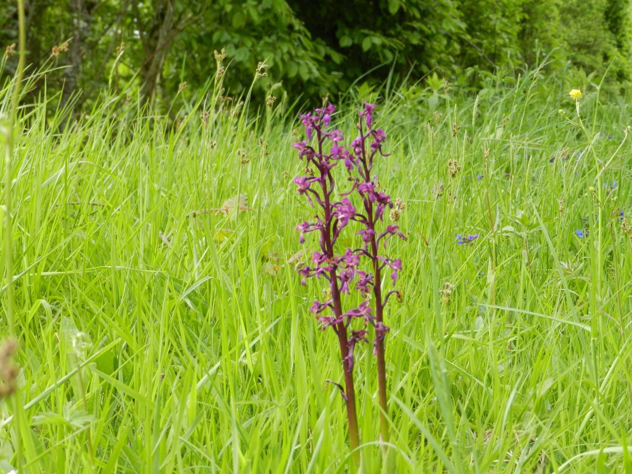 Anacamptis laxiflora, orchis à fleurs lâches