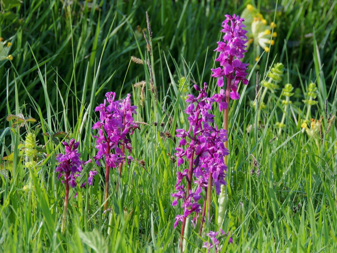 Orchidées sauvages du canton de la Chartre sur le Loir